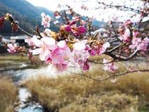 Blomma i Kawazu fotografering för bildbyråer