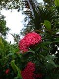 Blomma i koomwimandin Royaltyfria Foton