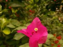 Blomma i latoppiga bergskedjan Arkivfoto