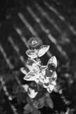 Blomma i ljus och skuggor Royaltyfri Foto