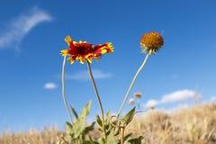 Blomma i mitt av det torra grässlättfältet Arkivbilder
