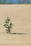 Blomma i sanden Fotografering för Bildbyråer