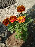 Blomma i skugga arkivbild