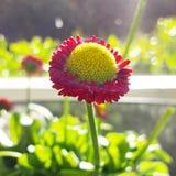 Blomma i sol Arkivbilder