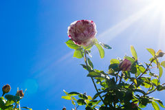 Blomma i solljus Fotografering för Bildbyråer