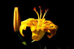 Blomma i solljuset på en mörk bakgrund royaltyfria foton
