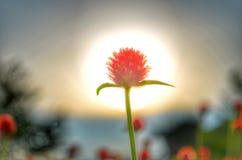 Blomma i sunen Fotografering för Bildbyråer