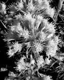 blomma i svart bakgrund Royaltyfria Bilder