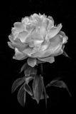 Blomma i svartvitt Arkivbilder