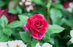 blomma i trädgården, härliga färgrika blommor som växte med det naturligt Arkivbild