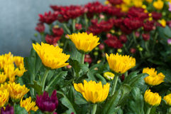 blomma i trädgården, härliga färgrika blommor som växte med det naturligt Royaltyfri Fotografi