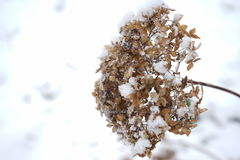 Blomma i vinter med iskristaller Royaltyfri Bild