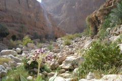 Blomma i Wadi Shab Arkivfoto