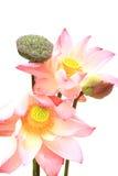 blomma islated lotusblommapink Royaltyfri Bild