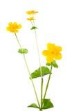 blomma isolerad kingcupwhite Arkivbilder