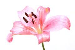 blomma isolerad lilja Fotografering för Bildbyråer