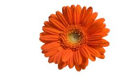 blomma isolerad orange Arkivfoton