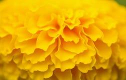 blomma isolerad ringblommawhite Arkivfoto