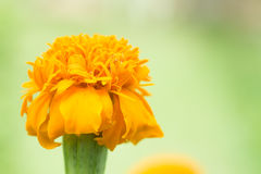 blomma isolerad ringblommawhite Arkivfoton