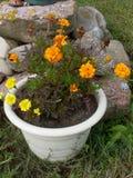 blomma isolerad ringblommawhite Royaltyfri Foto