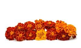 blomma isolerad ringblommawhite Royaltyfri Fotografi