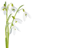 blomma isolerad snowdrop Arkivfoton