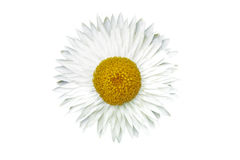 blomma isolerad white Royaltyfri Fotografi