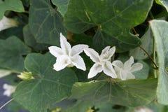 Blomma Ivy Gourd eller Cocciniagrandis arkivbilder