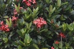 blomma ixoraen Arkivbilder