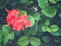 blomma ixoraen Royaltyfri Foto