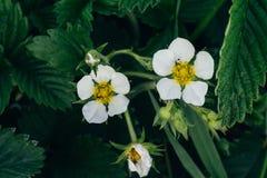 Blomma jordgubbar, jordgubbar vita blommor, jordgubbebuskar i vår fruktträdgård blodsugare arkivfoto
