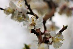 Blomma körsbäret i molnigt väder royaltyfri fotografi