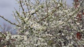 Blomma körsbärsröd plommon arkivfilmer