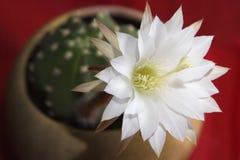 Blomma kaktus Blommande kaktus för vit blomma på en röd bakgrund Royaltyfria Bilder