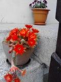 Blomma kaktusen arkivfoto