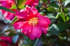 Blomma kameliaväxten med vibrerande röda blommor, gula stamens och gröna sidor royaltyfri bild