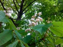 blomma kastanj arkivfoton