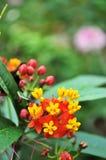 blomma klunga Arkivfoto