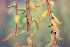 blomma knoppar på trädfilialer royaltyfria foton