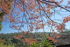 Blomma konungen Tiger - sakura på Chang mai, Thailand Fotografering för Bildbyråer