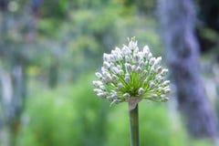 Blomma löken, gräsplan som är sund, närbild, Royaltyfri Fotografi