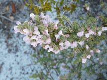 Blomma lösa Rosemary Florida Native Plant Fotografering för Bildbyråer
