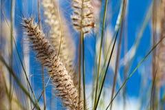 Blomma löst dekorativt gräs Arkivbilder