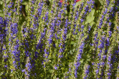blomma lavendel Arkivfoton