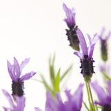 blomma lavendel Fotografering för Bildbyråer