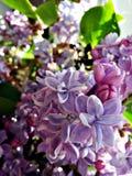 blomma lila royaltyfri fotografi
