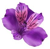 Blomma lila-rosa färger alstroemeria på en vit isolerad bakgrund med den snabba banan closeup Inget skuggar För design fotografering för bildbyråer