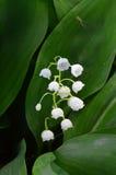 blomma liljadal Spindeln vävde sidorna av liljekonvaljen dess rengöringsduk & x28; Lat Convallariamajalis& x29; Royaltyfri Fotografi