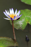 blomma liljavatten Royaltyfria Bilder