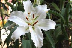 blomma lilly Royaltyfri Bild